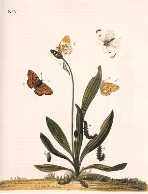 The Aurelian legacy: British butterflies and their collectors.