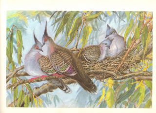 Australian birds and their young: a portfolio of paintings of breeding species of the eastern states.