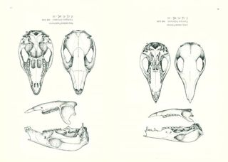 An illustrated key to the skulls of the mammals in Tasmania.