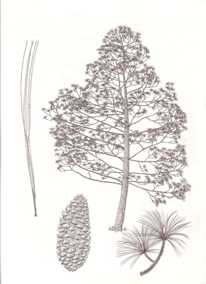 Pines: drawings and descriptions of the genus Pinus.