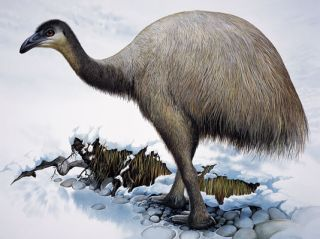 Upland Moa Megalapteryx didinus. Original artwork from A Gap in Nature. Peter Schouten