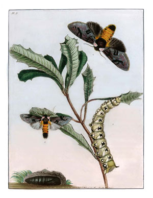 Natural history of the lepidopterous insects of New South Wales. Collected, engraved, and faithfully painted after nature.