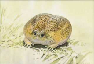 Cape Rain Frog Breviceps gibbosus. Original artwork from Astonishing animals.