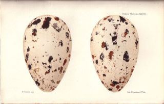 Ootheca Wolleyana: an illustrated catalogue of the collection of birds' eggs begun by the late John Wolley and continued with additions by Alfred Newton.