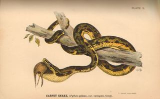 A popular account of Australian snakes, with a complete list of the species and an introduction to their habits and organisation.