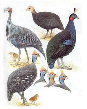 The birds of Africa, volume two: Guinea fowl to doves.