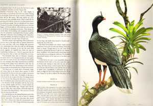 Curassows and related birds.