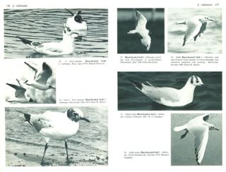 Gulls: a guide to identification.