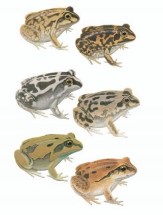 Short-footed Frog; Long-footed Frog; Daly Waters Frog [plate two