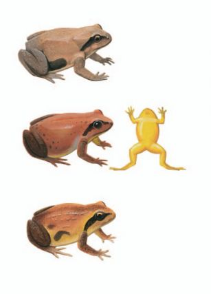 Loveridge's Frog; Mountain Frog; Pugh's Frog [plate 29