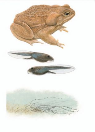 Cane Toad [plate 69]. Frank Knight