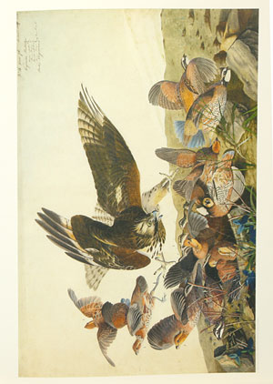 The John James Audubon portfolio: a selection of the original drawings and watercolors used in the making of Birds of America accompanied by a choice of Audubon's writings.