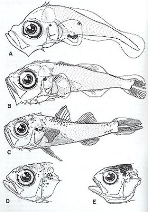 The larvae of Indo-Pacific shorefishes. Leis J. M., T. Trnska