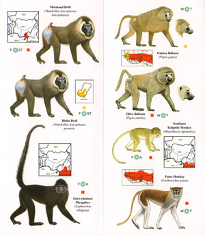 Primates of West Africa: pocket identification guide.