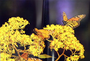 The amazing Monarch: the secret wintering grounds of an endangered butterfly.