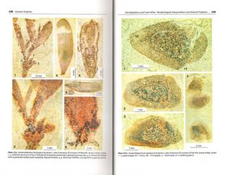 Cercidiphyllum and fossil allies: morphological interpretation and general problems of plant evolution and development.