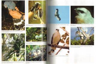 Neotropical birds of prey: biology and ecology of a forest raptor community.