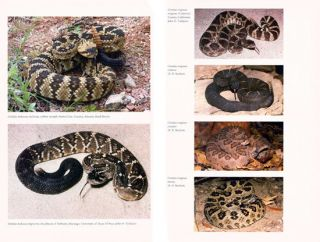 Venomous reptiles of the United States, Canada, and Northern Mexico: volume two, Crotalus.