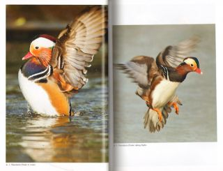 The Mandarin duck.
