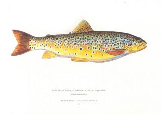 Trout of the world.
