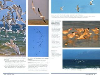 Peterson reference guide to seawatching: eastern waterbirds in flight.