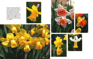 Daffodil: the remarkable story of the world's most popular spring flower.