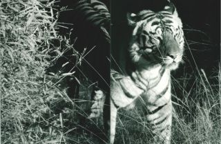 In predatory light: lions and tigers and Polar bears.
