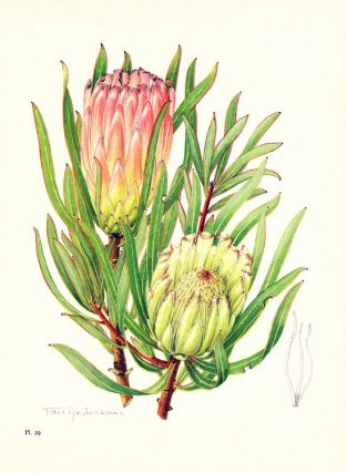 The proteas of Southern Africa.