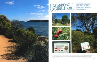 Jewel of the Australian desert Native peach (Quandong): the tree with the round red fruit.