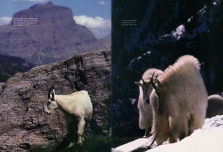 Life on the rocks: a portrait of the American mountain goat.
