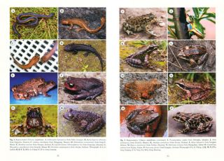Conservation biology of amphibians of Asia: status of conservation and decline of amphibians: eastern hemisphere.
