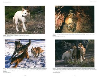 Dingo debate: origins, behaviour and conservation.