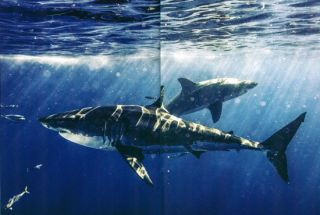 Sharks: face to face with the ocean's endangered predator.