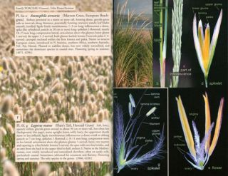 Name those grasses: identifying grasses, sedges and rushes.