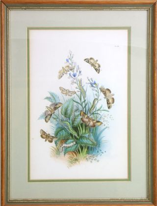 Handcoloured lithograph of British moths. H. Noel Humphreys