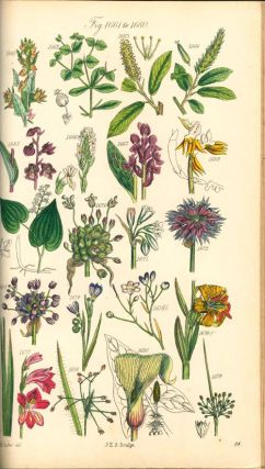 British Wild Flowers ... described, with an introduction and key to the natural order by C. Pierpoint Johnson.