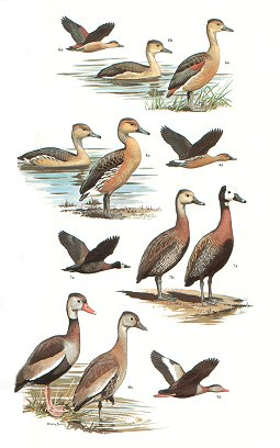 Wildfowl: an identification guide to the ducks, geese and swans of the world.
