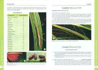 A taxonomic guide to the stick insects of Borneo.