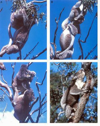 Biology of the Koala.