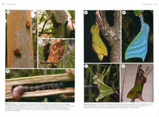 Splendid ghost moths and their allies: a Revision of Australian Abantiades, Oncopera, Aenetus, Archaeoaenetus and Zelotypia (Hepialidae).