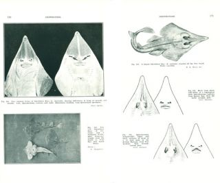 The fishes of Australia, part one: the sharks, rays, devil-fish, and other primitive fishes of Australia and New Zealand.