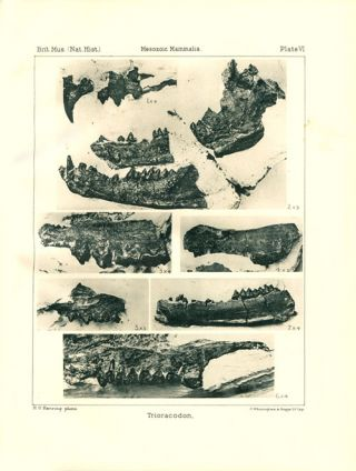 A catalogue of the Mesozoic mammalia in the Geological Department of the British Museum.