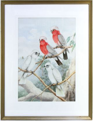 Galah and Little Corella. Neville W. Cayley.
