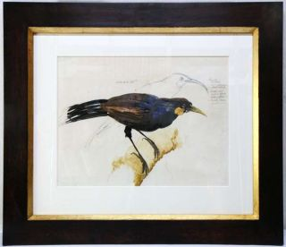Sketch of male Huia. Ray Ching