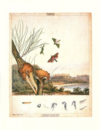Historical drawings of moths and butterflies [and] Historical drawings of native flowers.
