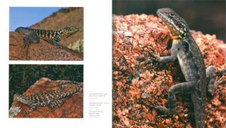 Dragon lizards of Australia: evolution, ecology and a comprehensive field guide.