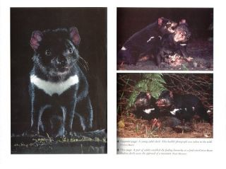 Tasmanian devil: a unique and threatened animal.