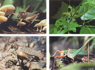 The Tettigoniidae: biology, systematics and evolution.