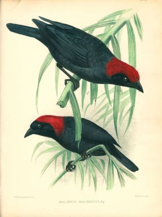 A monograph of the weaver-birds, Ploceidae, and arboreal and terrestrial finches, Fringillidae.