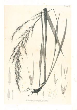 The indigenous grasses of New Zealand.